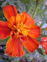 marigold 1