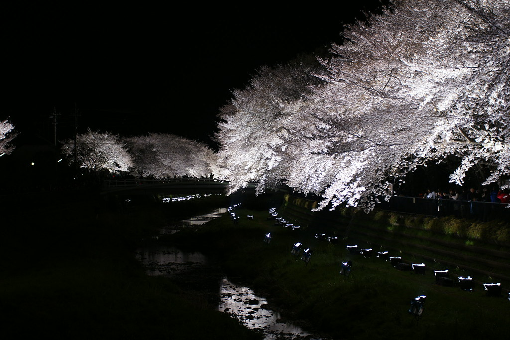 sakura light-up 8