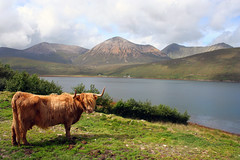 Highland cow, Skye (Theresa Elvin) Tags: skye cow highlands picturesque smrgsbord golddragon abigfave top20travel incrediblenature goldstaraward llovemypics
