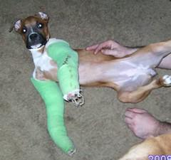 Cash the injured boxer puppy
