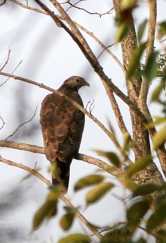 Oriental Honey Buzzard 190408 Valley School area
