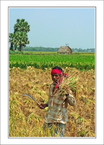 harvesting I