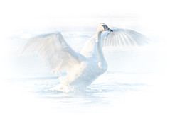 Bright Swan #3 (Patti Deters) Tags: bird animal swan swans white wings display flapping flight spread water neck winter trumpeter snow overexposed avian minimal beak eye calm peace tranquility mist fog misty foggy nature stretching motion