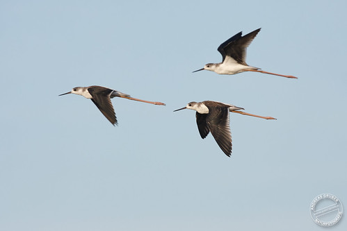 Stelzenläufer - Black-winged stilt - Himantopus himantopus