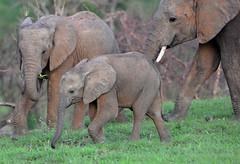 Young Elephant, Murchison Falls NP, Uganda