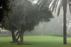 Before the mist lifts off (David Lev) Tags: trees plants green palm olives morningmist blueribbonwinner nirim anawesomeshot amazingshots citrit