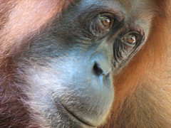 Orang Utang (fredje77) Tags: travel animal sumatra indonesia earth animalplanet orangoetang lpflora lpanimals lpbest2007