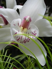 immaculate orchid (bronzebrew) Tags: orchid flower orchidaceae superhearts