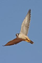 032054-IMG_4875 Grey Falcon (Falco hypoleucos) (ajmatthehiddenhouse) Tags: greyfalcon grayfalcon falcohypoleucos falco hypoleucos sa southaustralia bird 2007 australia