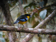 Blue-winged Mountain-Tanager 4 (mlretter) Tags: nwecuador wvenezuela