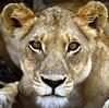 Lion, Lioness,  Gir Lions of India. (gsb_viva) Tags: superb unique class lions wildanimals natureanimals shaani beautifulcapture superbshot wildbeauties gsbviva uniqueclass superbclass