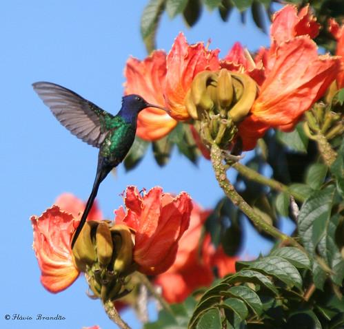 Beija-flor Tesoura (Eupetomena macroura) e a Tulipa africana (Spathodea campanulata) - Swallow-tailed Hummingbird and the African tuliptree 01-02-2008 189 by Flávio Cruvinel Brandão