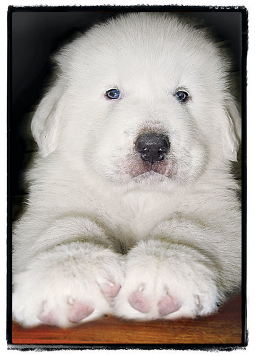 "Pyrenees Puppy ""Big Feet"""
