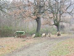 IMGP6767 (gzammarchi) Tags: italia natura campagna albero animale paesaggio collina pianura quercia pecora camminata attrezzo itinerario molinonuovo castelsanpietrobo marzocchina