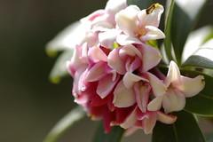 挿し木で育った沈丁花