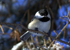 (steves-photos) Tags: winter birds ottawa chickadee