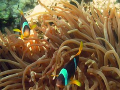 "A couple (*Chris"")) Tags: fish underwater redsea egypt diving clownfish reef makadi mywinners"