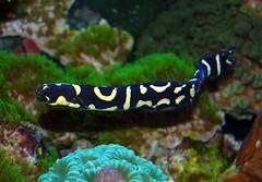 Engineer goby (Gary McKinney) Tags: ocean fish clownfish puffer reef lionfish saltwater wrasse tangs saltwaterfish reeffish