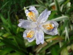 Too Wet (iris)