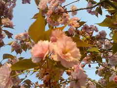 Immag011 (alessiacipo) Tags: primavera rosa fiori ciliegio fiorellini