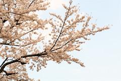 Sakura, Cerisier japonais 1 (Sébastien P) Tags: japan canon cherry eos 350d 50mm tokyo pentax takumar blossom f14 sakura smc japon cerisier japonais 桜 キャノン タクマー ピンク 空 東京 日本