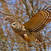 Barred Owl by Jim Sullivan