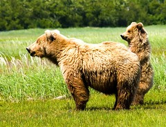mama brown bear and baby (a walk on the wild side nature photography) Tags: alaska meadow nowpubliccom brownbear katmai 5photosaday grizzlycub natureoutpost awardfromnature aoty59thread