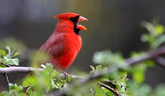 ((Andrew)) Tags: red male vivid cardinaliscardinalis weepingcherrytree northerncaridnal