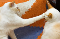 Briga de Gato [Cat Fight] (Jim Skea) Tags: blue orange azul fight laranja gatos nikond50 yuki armchair briga mizu poltrona jimsk speedlightsb600 nikkor50mmf18daf bestofcats