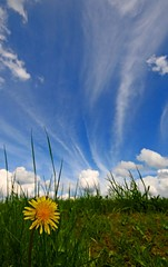 No Expense Spared (RoystonVasey) Tags: blue sky cloud west flower grass yellow digital canon eos rebel kiss angle yorkshire low wide sigma down x dandelion explore jpg 1020mm knee 1020 muddy taraxacum themoulinrouge officinale xti 400d