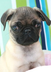 say hi to oliver (herons) Tags: dog cute dogs puppy pups oliver pug pup