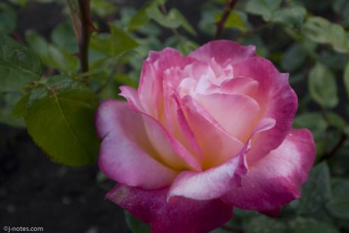 Marcom Rose Garden 08