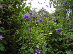 Gewhnliche Akelei (mbn_de) Tags: wild blumen wildflowers blau garten frhling blten akelei wildblumen wildpflanze naturgarten