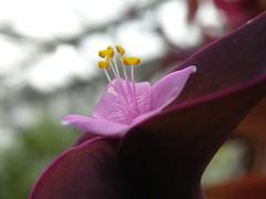 setcreasea pallida cv. 'purple heart' (liangjinjian) Tags: columbus ohio usa plant flower macro spring nikon fave greenhouse osu coolpix 2009  p80