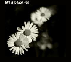Life is Beautiful (Shweta Mukherjee) Tags: flowers sunlight blackwhite bokeh krishlikesit