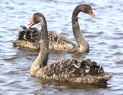 two young black swans (bugman11) Tags: black bird nature water birds fauna canon swan nederland thenetherlands 1001nights soe thegalaxy specanimal mywinners natureselegantshots