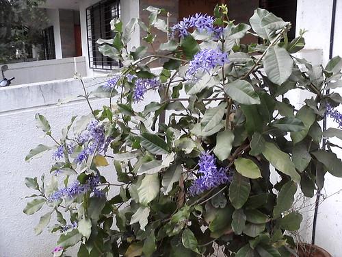 2. Krishnagaru flowers 4
