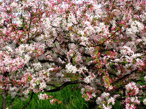 Tree in full bloom