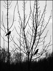 silhouette (sulamith.sallmann) Tags: trees bw plants plant tree bird nature netherlands amsterdam birds animals silhouette tiere europa natur pflanze pflanzen sw nl vgel bume baum tier vogel niederlande schattenriss sulamithsallmann