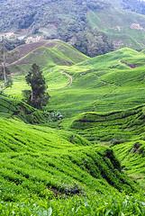 Ladang Teh (irwandy) Tags: cameron malaysia nd cameronhighlands teaplantation boh perak bohtea irwandy sungaipalas sungeipalas sgpalas ladangteh
