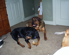 Napoleon & Sage Playing (muslovedogs) Tags: playing dogs rottweiler sage napoleon mastweiler
