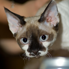 What Colour Devon Rex? (peter_hasselbom) Tags: portrait cats cat catshow devonrex cc100 cc1000 kungsbacka07