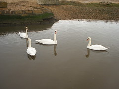 Swans 02 (Vintage Ikon) Tags: sea milford on