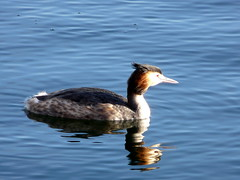 Great Crested Grebe on Canada Water