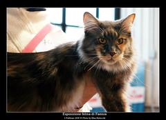 Maine Coon (Elisa Bistocchi) Tags: cats pets mainecoon felini gatto animali micio canoneos400d elisabistocchi