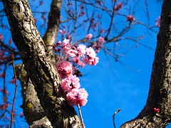 Flowering Plum (vajra) Tags: plumblossoms flower flowers pink