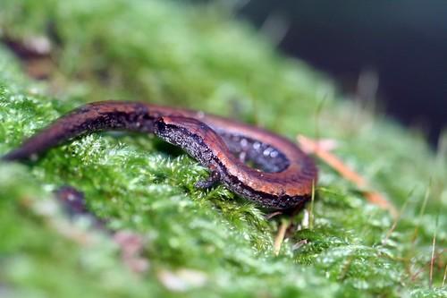 Slender Salamander
