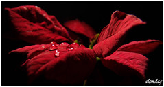 Passion ( alemdag ) Tags: blue red sea black flower macro art love turkey trkiye natura drop panasonic passion deniz mavi trabzon onblack iek yeil sar ak fz50 sanat damla fotoraf krmz doa siyah eow renkler alemdag turuncu tutku flowerotica abigfave panasonicfz50 vision1000 panasonicdmcfz50 visiongroup infinestyle diamondclassphotographer goldstaraward mehmetalemda ahqmacro vision100