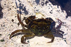 Eigg, shore crab  2004 37