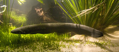 Electric eel (brian.gratwicke) Tags: fish electriceel electrophoruselectricus taxonomy:binomial=electrophoruselectricus